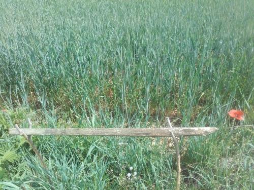 blé en herbe.jpg