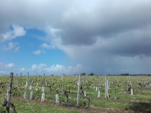 Charente vignes.jpg